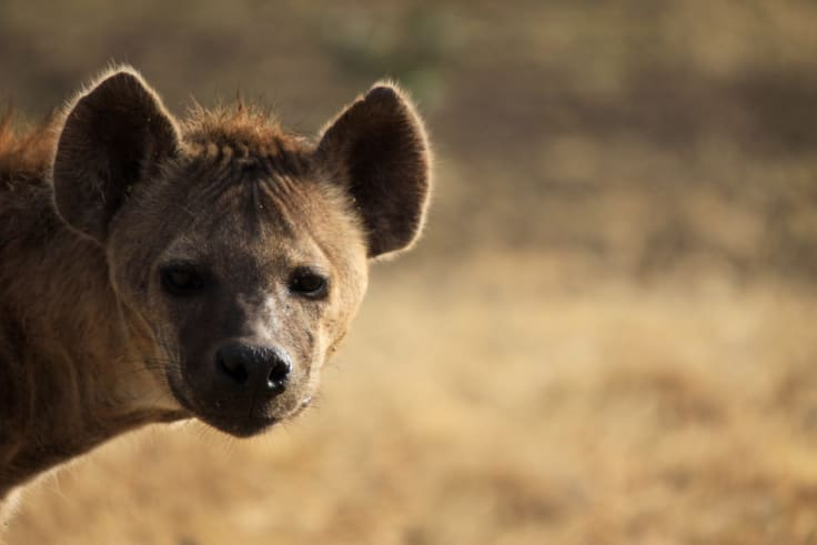 Hyena Politics: Looking for the kill, not the truth.