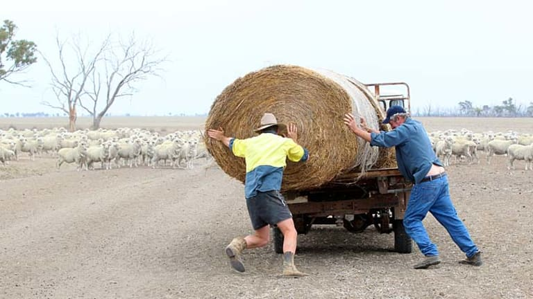 Tough times: Sheep wait for their feed after drought returns to the state's north-west.