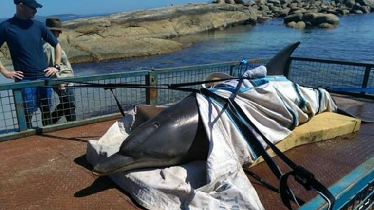 DPaW had also rescued this unlucky dolphin in Albany on Sunday morning.
