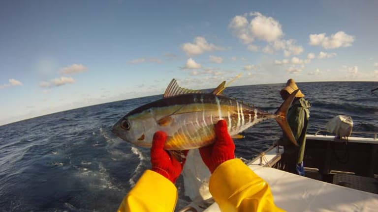 Life cycle clue ... juvenile bigeye tuna are tagged and released from the stern of a tagging vessel.