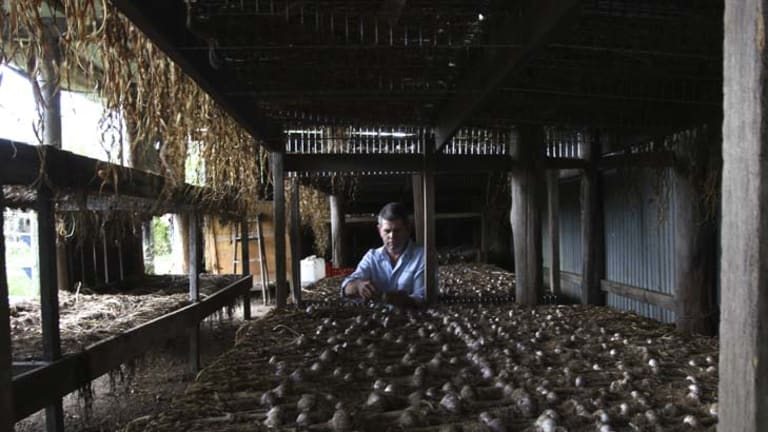 """""""I get people that actually peel it and it looks so good they eat it"""" ... Andrew Hearne, organic garlic farmer, in his drying shed on his farm near Wauchope."""