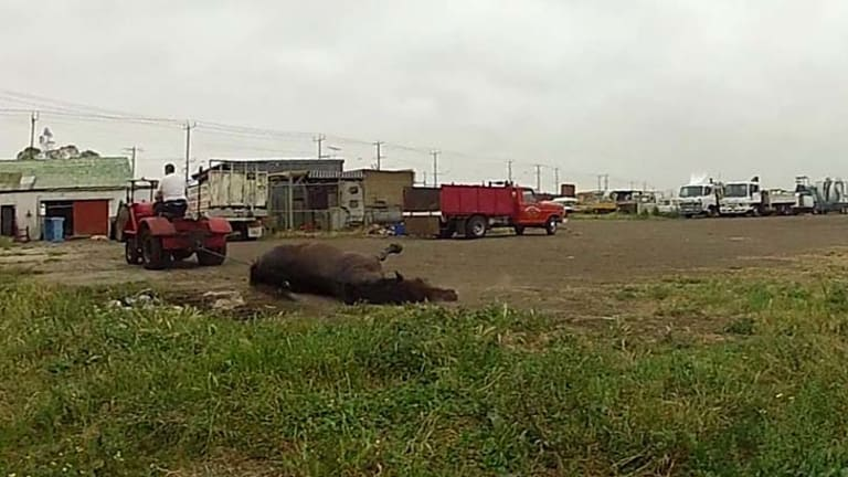 Footage of a horse being dragged at Laverton Knackery.