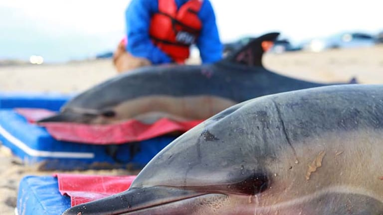 Saved ... two dolphins are prepared to be released.