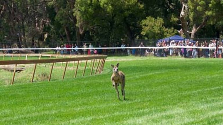 Skippy approaches the finish line.