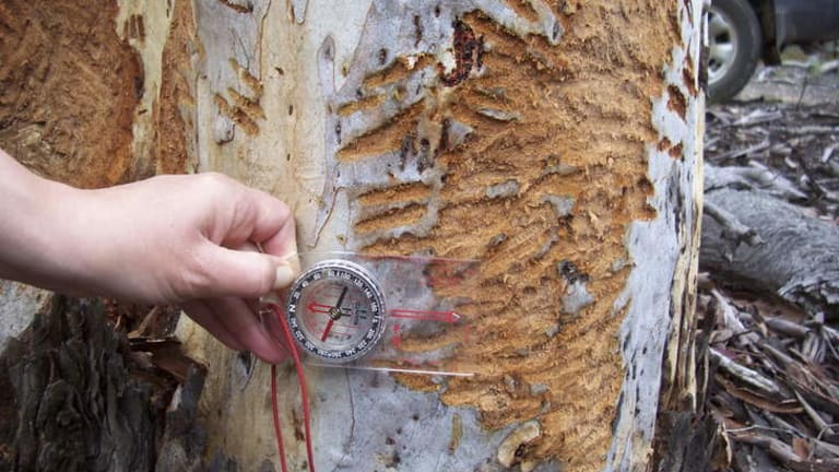 A koala ravaged tree trunk (with compass for scale). Contributed by the NSW Office of Environment and Heritage.
