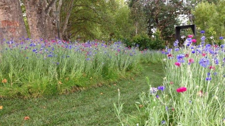 Path mown through cornflowers by Ian Barker.