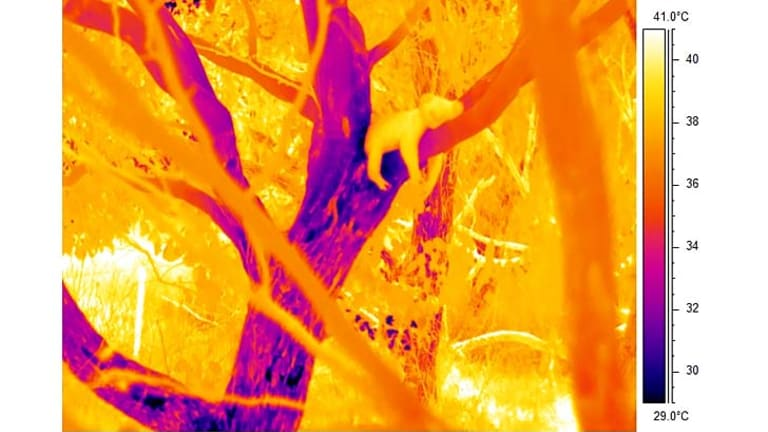 Thermal imaging shows koalas cool down in extreme temperatures by hugging trees.