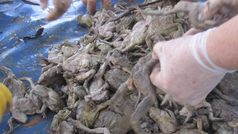 The end of the line for another batch of cane toads, which range from toadlets up to big females.