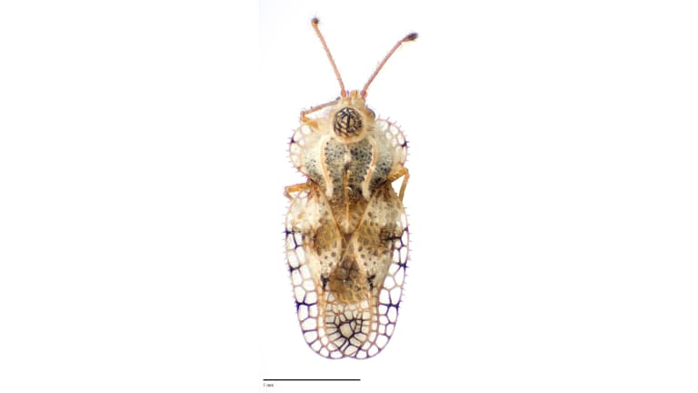 A new species of Lacebug Lasiacantha discovered at Charles Darwin Reserve, WA.