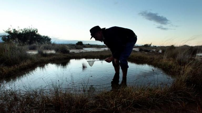 In the spring waters at Edgbaston in central Queensland, a program has begun to save the red-finned blue-eye fish from extinction.