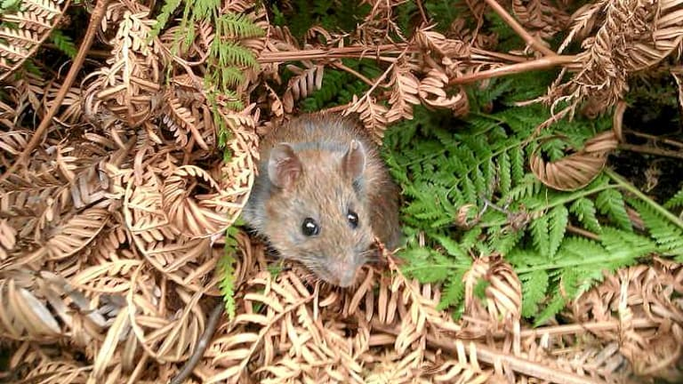 Bush rats carry a parasite long overlooked by scientists.