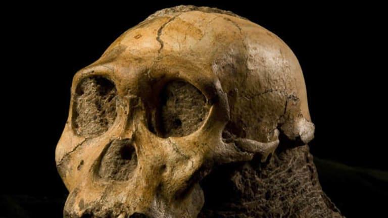 The cranium of Australopithecus sediba, found in South Africa.