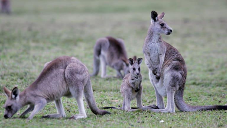 Is kangaroo meat as healthy as we think it is?