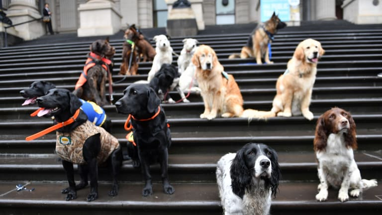 DOGS Victoria service and working dog breeders will assemble on the steps of Parliament on Tuesday to call on the Victorian government to amend the Domestic Animals Amendment (Puppy Farm and Pet Shops) Bill 2016. 22nd November 2016, The Age, Fairfaxmedia Picture by Joe Armao