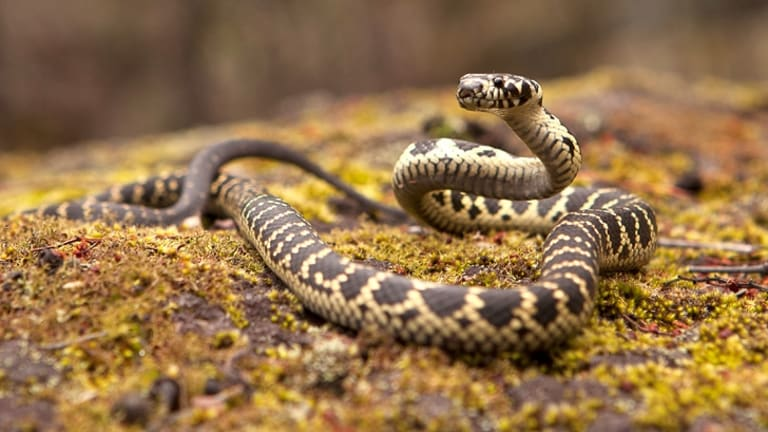 The broad-headed snake, once common in Sydney's suburbs, is now endangered.