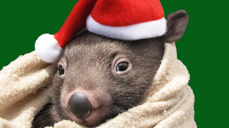 Willow the wombat from Wildcare 2014 calendar.