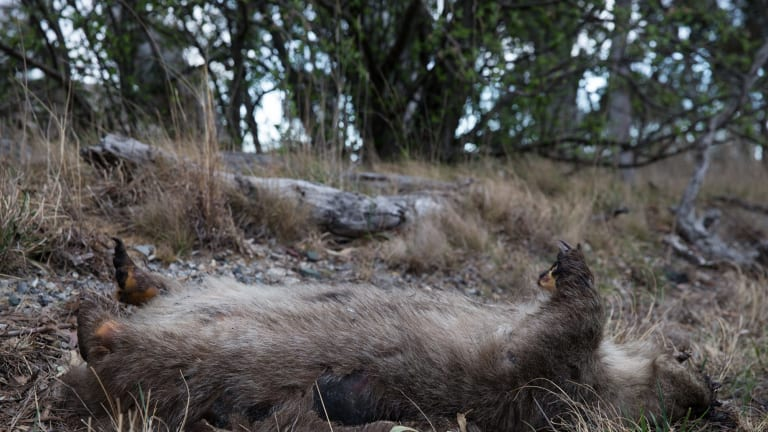 A dead wombat lies on the side of the road in NSW.