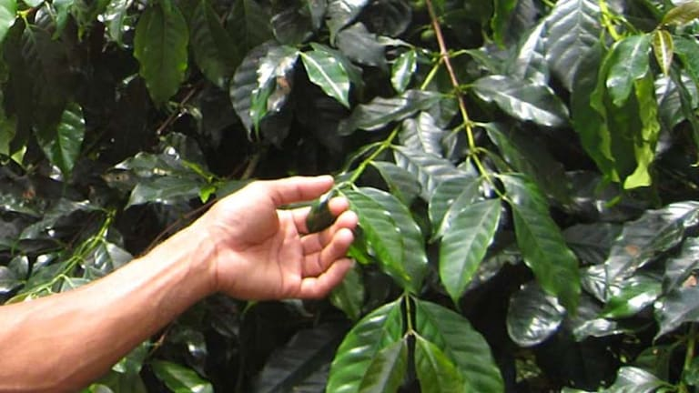 Contains high levels of compounds credited with lowering the risk of heart disease and diabetes ... coffee leaf tea. Above, a coffee plant.