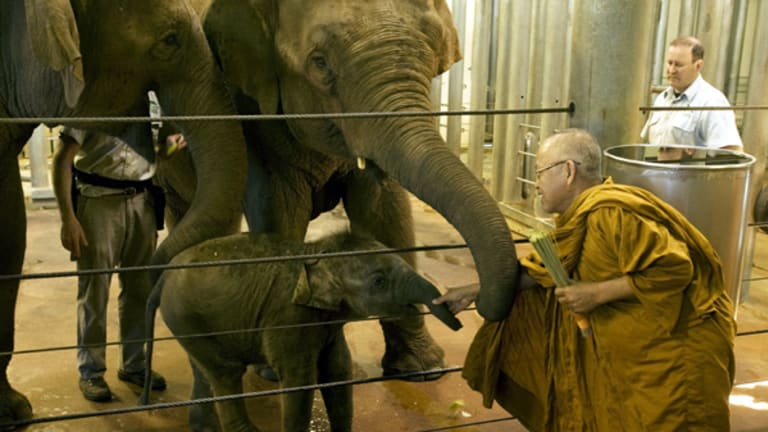 Baby elephant Luk Chai is blessed in a traditional Buddhist ceremony at Taronga Zoo.