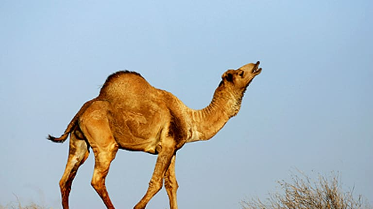 A wild camel stands on top of a sand dune in the Simpson Desert.