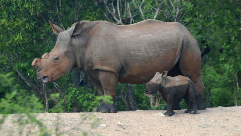 At risk:  A de-horned white rhino with calf.