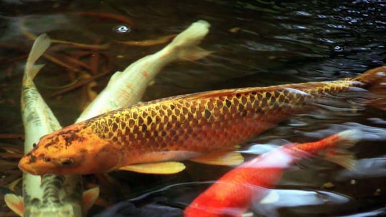 Kohaku … champion fish can fetch up to $5000 each in Australia.