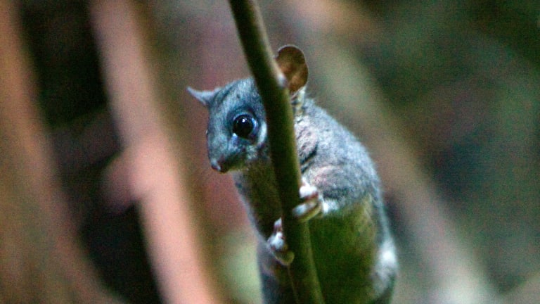 A Leadbeater's possum at Healesville Sanctuary.