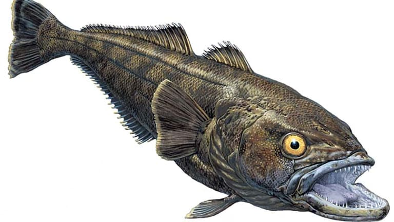 Long-lived, bottom dwellers: A taxinomically correct artist's illustration of a Patagonian toothfish.