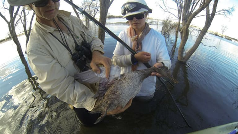 Rescuers from the Coalition Against Duck Shooting with a dead freckled duck   at Box Flat wetland a week after the March cull.