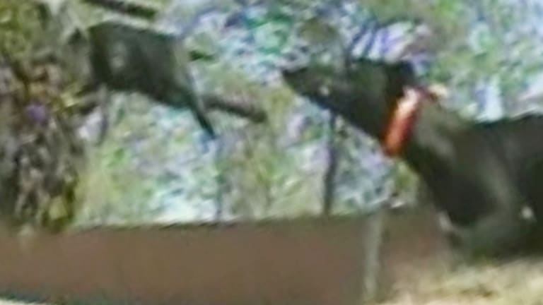 A still from a ABC Four Corners program exposing live baiting practices in the Greyhound racing industry.