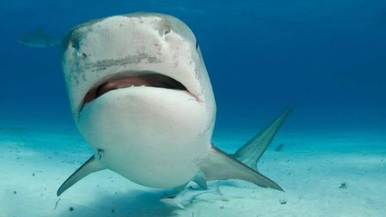 Not just a scary face: sharks 'are smart and capable of complex interactions'.