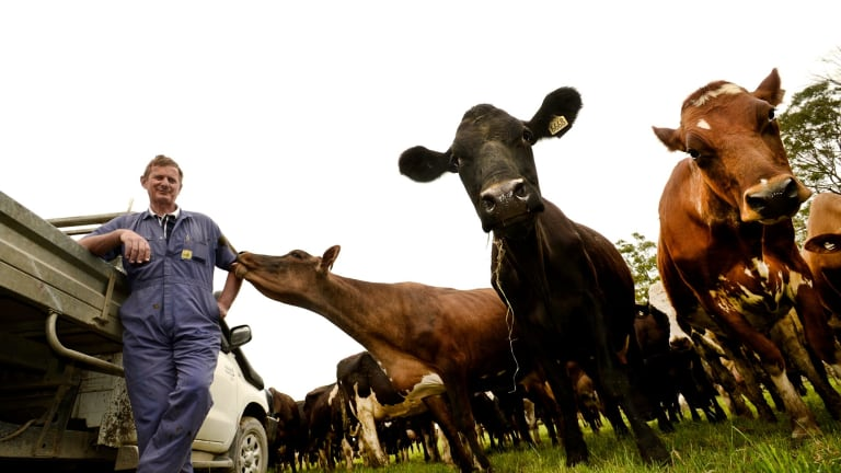 A pasture-based dairy herd.
