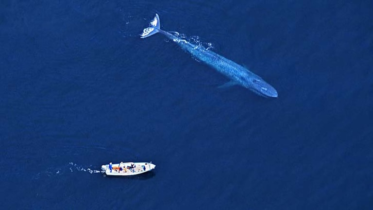 Perfect pitch: Blue whales can be heard singing more than 1000 kilometres away.