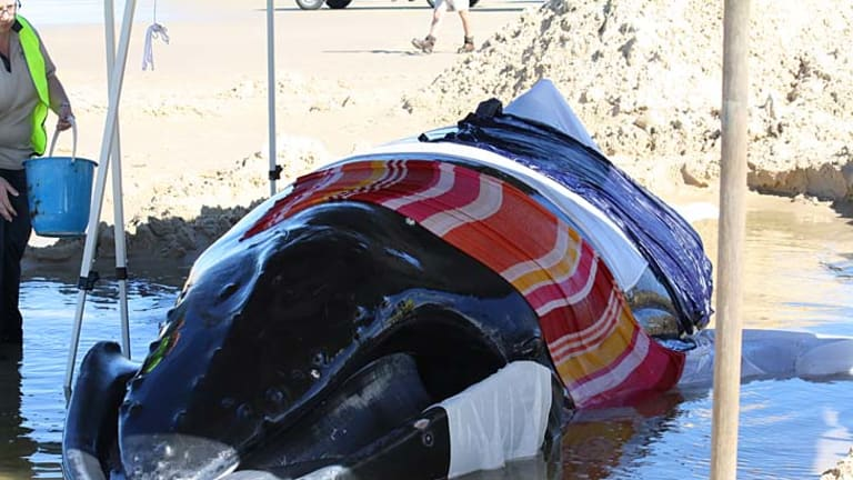 The juvenile humpback lies stranded on Fraser Island.