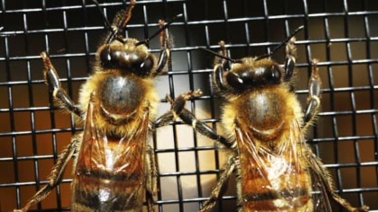 Pollinators worth billions to the economy... honey bees at the National Honey Show at the Royal Easter Show yesterday.