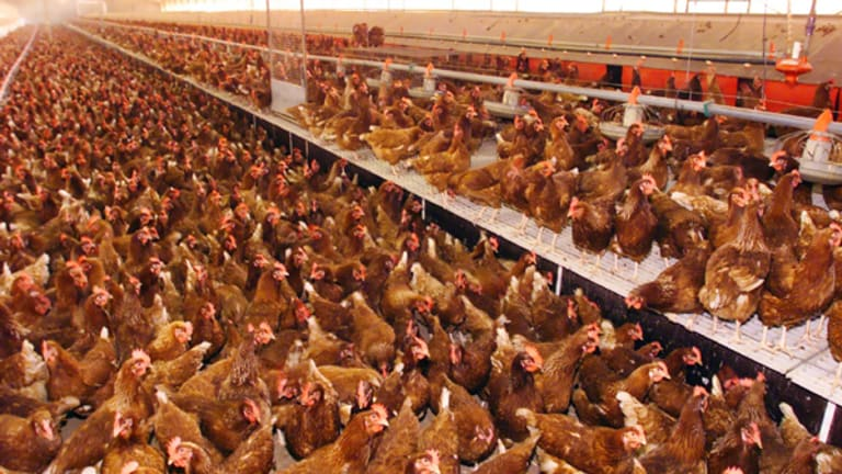 Barn hens living together in a farm in outer Sydney.