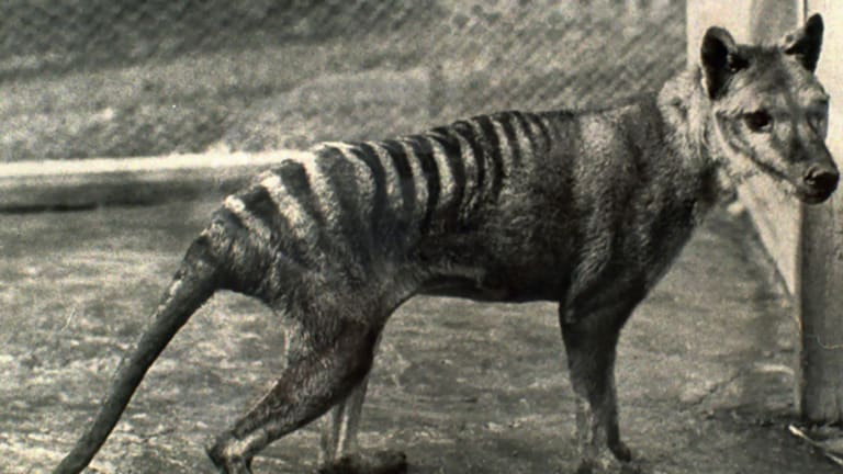 The last Tasmanian tiger, photographed in captivity in March 1936. The tiger died on September 7 of the same year.