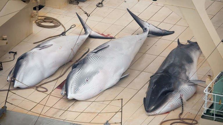 Three minke whales lie dead on the deck of Japanese whaler Nisshin Maru. New Zealand is taking Australia's lead to try to prevent Japan whaling in the Southern Ocean.