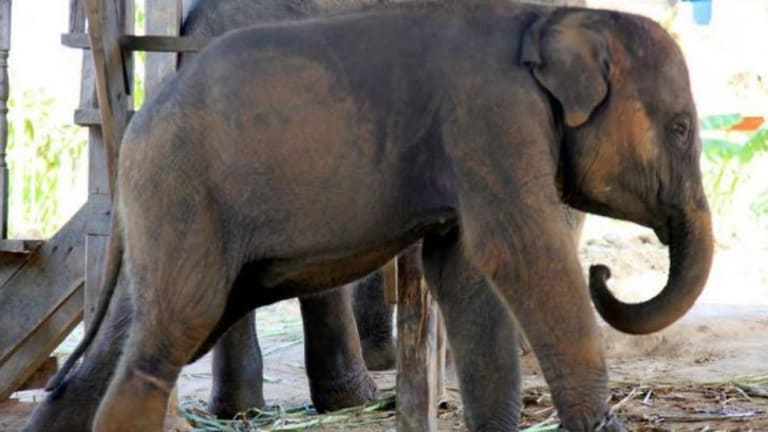 A wild baby elephant at a holding camp on the Thai/Myanmar border.