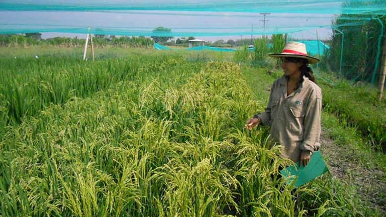 Laura Moreno, one of the students supervised by GM scientist Alex Johnson, takes data from GM iron and Zinc fortified rice at CIAT (the International Centre for Tropical Agriculture) in Colombia.