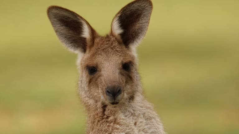 Muscular male kangaroos are more attractive to females, research shows.