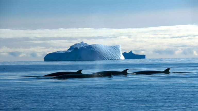 Minke whales off Davis, Antarctica. Although  minke whales are the most abundant of the great whales, research over the past 30years has indicated an apparent decrease in their numbers.