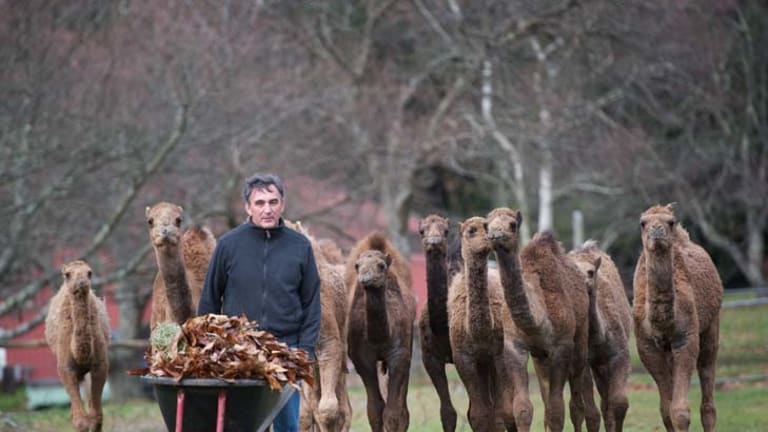 Alan Stephens gets some Central Australian Camels ready for sale to hobby farmers in Victoria. The young camels are adjisting at a farm in Emerald awaiting new homes.