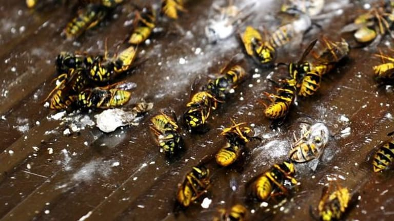 A house that was infested with wasp after the nest that they built above the kitchen gave way.