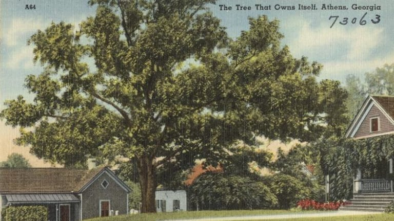 An old postcard of the tree that owns itself.