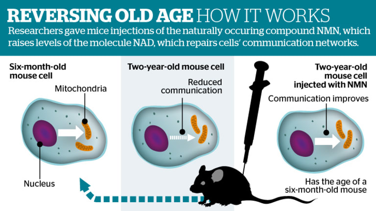 The fountain of youth? Human trials could start next year, the hope being to develop treatments for age-related diseases such as cancer.