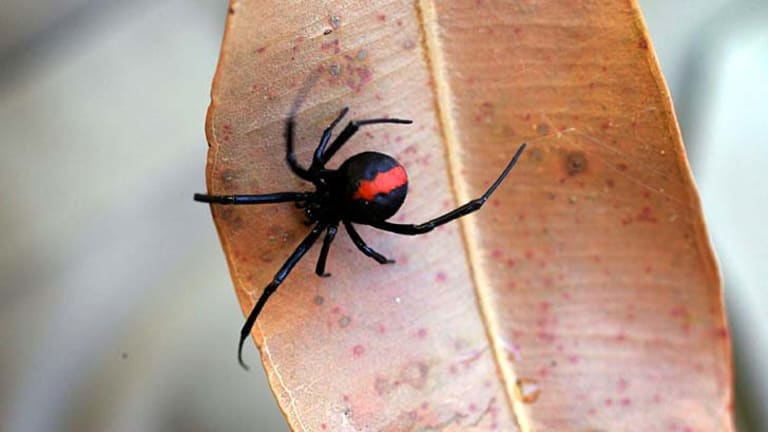 Threat: New research reveals that redback spider antivenom is not as effective as first thought.