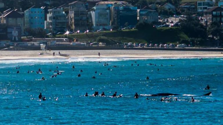 Whale of a time ... surfers initially surround the 10-metre whale at Bondi Beach on Sunday.