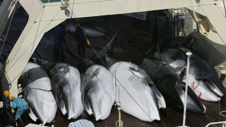Whales on a Japanese whaling vessel in the Southern Ocean.