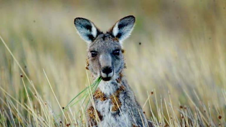 Marsupial myth . . . kangaroos rarely compete for food with livestock.